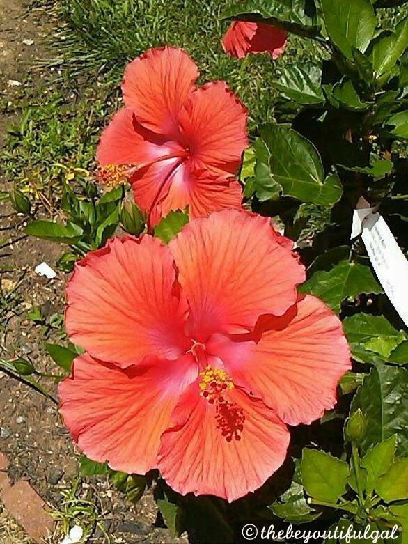 hibiscis pic (1)
